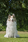 sitting American white Collie