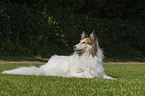 lying American white Collie