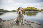 Beagle at the water