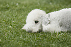 lying Badlington Terrier