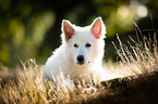 young Berger Blanc Suisse