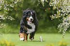 running Bernese Mountain Dog