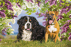 Bernese Mountain Dog with German Boxer