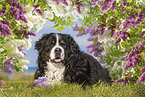lying Bernese Mountain Dog