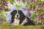 lying Bernese Mountain Dogs