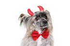 Chinese Crested Powderpuff as devil