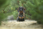 sitting wire-haired Dachshund