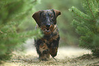 running wire-haired Dachshund