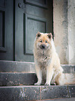sitting eurasian dog
