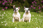 2  French Bulldogs