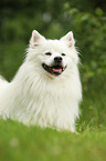 lying German Giant Spitz