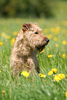 sitting Irish Terrier