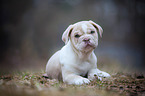 New English Bulldog Puppy