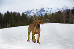 walking Rhodesian Ridgeback