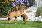 playing Rhodesian Ridgeback Puppies