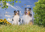 sitting Shelties