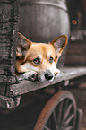 lying Welsh Corgi