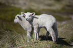 German Heath lambs