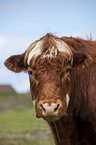 Danish Red Cattle