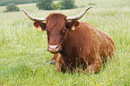 Salers cattle