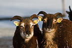 Soay sheeps