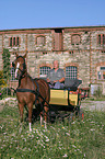 German Riding Pony with carriage