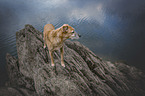 Mongrel on a rock