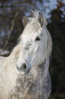 Percheron Portrait