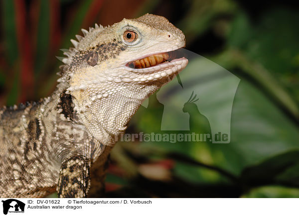 DV-01622 - Australian water dragon images stock pictures buy