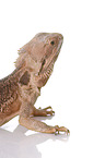 central bearded dragon at white background