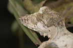 big madagascar leaf-tailed gecko