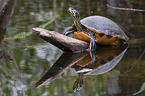 redbellied Turtle