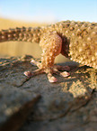 African giant ground gecko