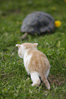 spur-thighed tortoise and kitten