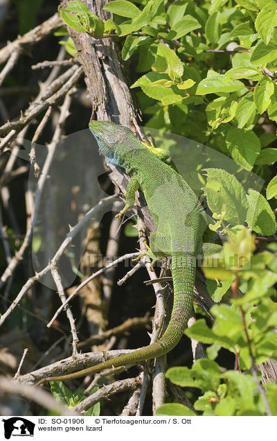 western green lizard / SO-01906