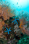blue linckia starfishes
