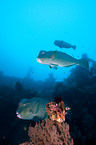 bumphead parrotfishes