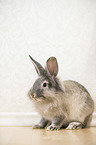 Belgien Bearded Rabbit