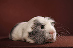Cuy - giant guinea pig