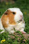 English Crested Guinea Pig in the meadow