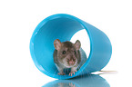 fancy rat on white background