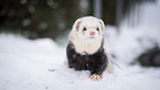 ferret in the snow