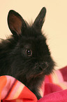 young black dwarf rabbit