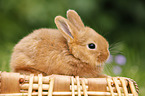 New Zealander rabbit