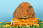 guinea pig with corncob