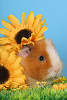 Texel guinea pig with flowers