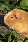 us-teddy guinea pig in garden
