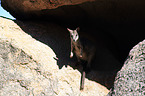 sitting Allied rock kangaroo