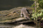 brown rat on trunk