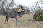 walking Zambezi Greater Kudu